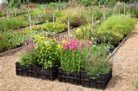 Well stocked crates of perennials in the sales area at Daisy Roots Nursery
