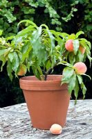Peach 'Bonanza' grown in a pot