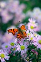 Aster 'Ochtendgloren' AGM with Comma butterfly - Polygonia c-album
