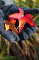 Gloved hands holding autumn leaves of Liquidambar - Oriental Sweetgum