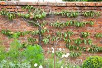 Prunus persica trained against a brick wall