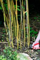 Thinning out a congested clump of bamboo by cutting out the older, less colourful canes and leaving more room for the newer canes to develop