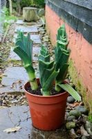 Leeks stored in plastic pot ready for kitchen use, November