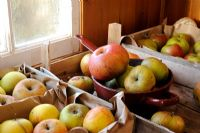 Various varieties of apples stored in trays in garden shed, October