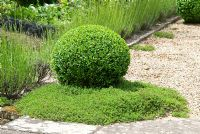 Topiary Buxus - Box ball and Thymus - Thyme underplanting, with Lavandula hedge. Sandhill Farm House, Hampshire, in June.
