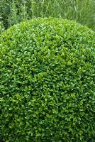 Newly clipped topiary Buxus - Box ball at Sandhill Farm House, Hampshire, in June.
