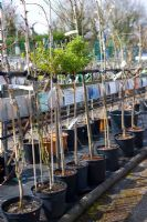 A row of gooseberry standard plants for sale at a garden nursery
