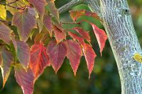 Acer grosseri var. hersii - Snake Bark Maple