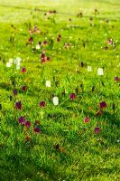 Spring meadow with Fritillaria meleagris - Snakes Head Fritillary naturalised in grass, Byndes Cottage, Suffolk, April