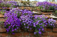 Aubrietia growing in old wall