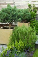 Small urban garden with planting of Rosmarinus and Pinus - Highgate, London