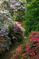Flowering Rhododendron culitvars in Spring at The Savill Garden, Windsor Great Park