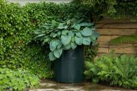 Hosta 'Big Daddy' planted in a large container in a courtyard corner surrounded by Hedera - Ivy and Ferns