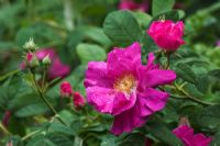 Rosa gallica var. officinalis -  The Apothecary's Rose
