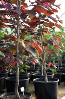 Cercis canadensis 'Forest Pansy' in pots for sale