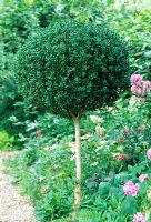 Buxus - Box trained and clipped into mophead shape. West Green House, Hants
