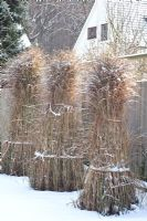 Miscanthus sinensis 'Gracillimus' tied up to protect it from weather damage