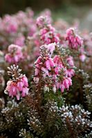 Erica carnea 'Winterfreude' - frozen flowers in January