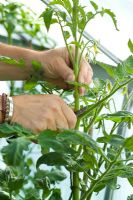 Stopping a Tomato plant by cutting off its leading shoot or growing tip with a penknife