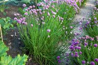 Allium schoenoprasum - Chives edging path in potager