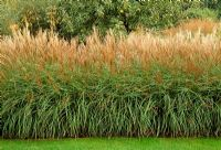 Miscanthus sinensis 'Yakushima Dwarf' grown as low hedge.