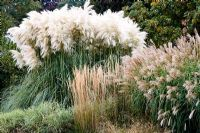 Grass border including Cortaderia selloana - Pampas grass, Calamagrostis x acutiflora and Miscanthus