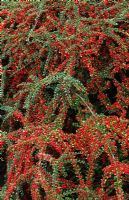 Berries of Cotoneaster horizontalis