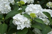 Hydrangea macrophylla 'Soeur Therese' in July