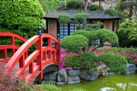 Azalea japonica, Fagus sylvatica and Pinus planting with red bridge in a Japanese styled garden with a tea house