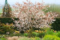 Amelanchier laevis -  Allegheny Service Berry with Tulipa and Taxus hedge in April at RHS Hyde Hall, Essex, UK.