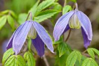 Clematis alpina 'Pamela Jackman', April