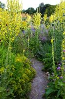 Path through insect garden with Verbascum olympicum, Inula helenium, Origanum, Dipsacus fullonum - Teasel and Knautia macedonica