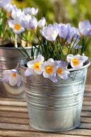 Crocus 'Blue Pearl' in metal container in early Spring