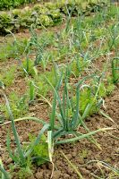 Interplanting carrots with onions to confuse and deter carrot fly