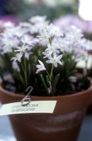 Chionodoxa albescens - Alpine Show, Kent, April 2006