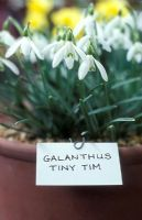 Galanthus 'Tiny Tim' - Alpine Show, Kent, April 2006