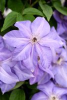 Clematis 'Shimmer'