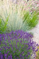 Lavandula angustifolia 'Hidcote Blue' with Helictotrichon sempervirens