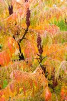 Rhus typhina 'Dessecta' - autumn colouring