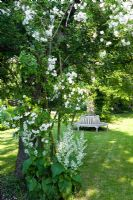 Wooden bench under tree, Salvia sclarea 'Alba' and Rosa 'Bobbie James'