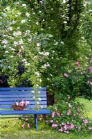 Blue wooden bench with Rosa 'Helenae' and Rosa 'Raubritter' climbing up tree