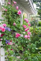 Veranda with Rosa 'Parade' and Clematis 'Durandii'