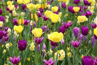 Spring border of Tulipa 'Purple Prince', Hyacinthus 'Amethyst', Narcissus 'Tete-a-Tete', Narcissus 'Yellow Cheerfulness', Tulipa 'Fringed Elegance' and Tulipa 'Maytime'