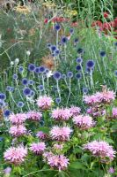 Monarda 'Cherokee' and Echinops ritro 'Veitch's Blue' in mixed summer border