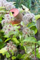 Clematis vitalba on wooden fence