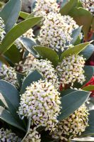 Skimmia japonica 'Obsession'
