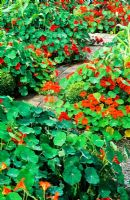Mass of Tropaeolum in the vegetable garden with brick paths and box balls - Veddw House Garden, Monmouthshire