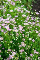 Erigeron philadelphicus - Ivy Croft, Leominster, Herefordshire, UK