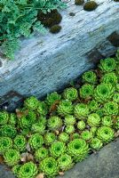 Sempervivums set into a gap in the paving below weathered railway sleepers containing a raised bed - Ivy Croft, Leominster, Herefordshire, UK