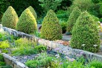 Raised beds made with weathered railway sleepers and mulched with slate. A path behind is framed with two lines of Buxus sempervirens 'Elegantissima' clipped into cones - Ivy Croft, Leominster, Herefordshire, UK